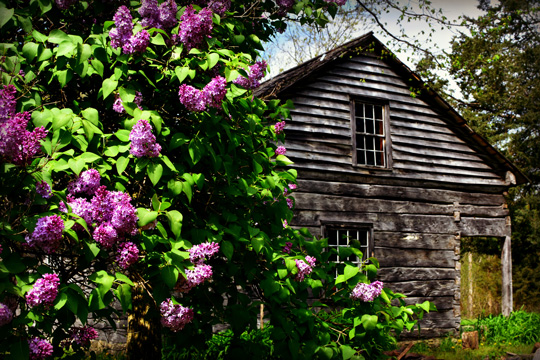 Lilacs near the Norwegian House at Old World Wisconsin in Eagle, Wisconsin